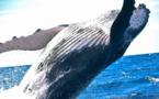 Les technologies d'intelligence artificielle INTEL au service de la préservation des baleines