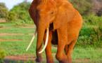 La solution NoSQL de MarkLogic, alliée à l'IoT, protège les tigres et les éléphants contre le braconnage