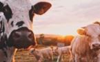 Vaches connectées et comment ne pas concevoir des produits IoT qui vont échouer
