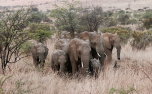 IFAW développe au Kenya un programme novateur de lutte contre le braconnage pour tenter d'endiguer la disparition des éléphants et autres espèces menacées